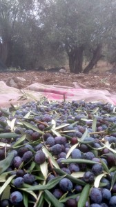 Ağaçtan toplanılan zeytinler