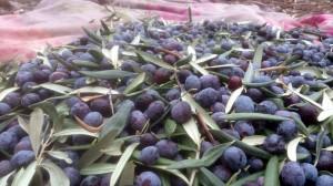 Zeytin hasatı